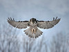 "Snowy Owls : There is no group of birds more mysterious and fascinating than owls. The loudmouths of the raptor world, they peep, trill, toot, bark, growl, shriek, whistle chittle, whoop, chuckle, boom and buzz. Indeed, very few actually ""hoot"". They have become the stuff of lore and legend – from the Roman myth that an owl foot could reveal secrets to the First Nations belief that owl feather could give a newborn better night vision. But the truth about owls is much more exciting.